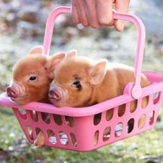 Are you thinking about keeping a pig as pets? Do you want one of them cute teacup pigs or mini pigs? Cute Baby Animals, Funny Animals, Farm Animals, Cute Baby Pigs, Miniature Pigs, Teacup Pigs, Cute Piggies, Little Pigs, Animals Beautiful