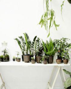 schöne zimmerpflanzen bilder glücksfeder zimmerfarne
