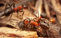 A Peck on the Cheek! - Why wood a Wood Ant social distance! Wood Ants, Distance, Insects, Southern, Long Distance