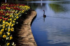 De Black Swan with de Canberra Floriade flowers in Canberra, Australian Capital Territory_ East Australia