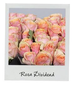 Rosa Dividend | New Arrival | Available in our webshop www.holex.com | Insights, your weekly floral update!