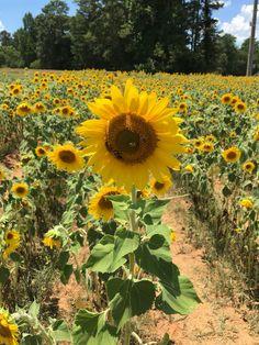 Anderson's Sunflower Farm in Cumming, Georgia