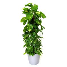 De Epipremnum aureum is een sierlijke klimplant die makkelijk is te onderhouden en de lucht goed kan zuiveren. Lees hier meer over de Epipremnum aureum.
