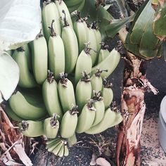 Bananarama 🍌🍌🍌🍌 via Bananas, Tropical, Lily, Ocean, Island, Beach, Amazing, Water, Beautiful