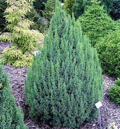 Hustá, trpasličia odroda modro zelenej farby, pripomínajúca tučniaka. Herbs, Plants, Herb, Planters, Plant, Spice, Planting