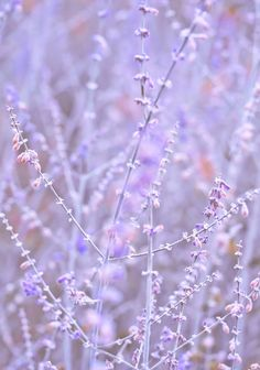 Lavender by David Kelly Violet Aesthetic, Lavender Aesthetic, Brown Aesthetic, Aesthetic Photo, Aesthetic Pictures, Lavender Brown, Pastel Purple, Purple Haze, Shades Of Purple