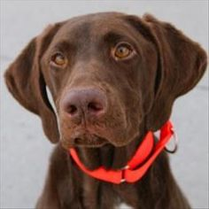 Crusoe is an adoptable Labrador Retriever Dog in Des Moines, IA. If you throw it, Crusoe will chase it! And as a bonus, he'll toss it back to you! This handsome Lab loves being active and carrying thi...