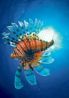 Fighting the Caribbean's lionfish invasion - Telegraph (St. Lucia travel info)