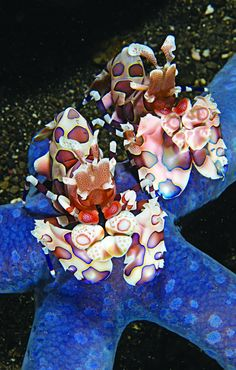 ✯ Harlequin Shrimp .. Flirty harlequin shrimp hang out under Lembeh's resort boats.✯