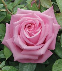 Royal Kate Hybrid Tea Rose