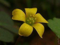 """Oxalidaceae, Familia de Madeira Alazão OU """"woodsorrels"""" por @HerSander, via Behance #FlorDeMato"""