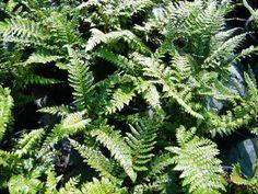 Polystichum rigens - Fronds New Zealand, suppliers of native New Zealand ferns, nz plants, nz trees, nz shrubs, landscaping ferns, nz ponga, nz ferns, exotic ferns, nz tree ferns, nz ground ferns, nz ponga pots, nz ponga troughs.