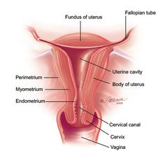 Reproductive Female Anatomy: uterus, fallopian tubes, cervix, & vagina. The three layers of the uterus include the perimetrium, myometrium, & the endometrium.