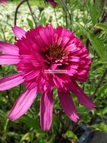 Echinacea p. 'Southern Belle'