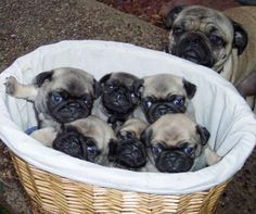 A Grumble of pugs! Love my pug babies! Pug Puppies, Pet Puppy, Terrier Puppies, Boston Terrier, Teacup Pugs For Sale, Raza Pug, Amor Pug, Baby Pugs, Puppy Images