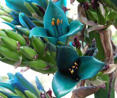 Puya Alpestris...Using these for the wedding!