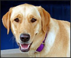 A labrador just like this one called Sophie.