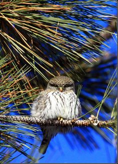 Northern Pygmy Owl. I LOVE these guys!