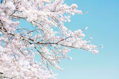 Halten Sie das intensive und glückliche Gefühl von Frühling mit dieser blühenden Kirschbaum-Fototapete fest – und erfreuen Sie sich an den zartr