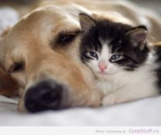 golden-and-kitten-snuggle