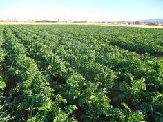 Ζεολιθικά: πατάτες και σέλινο. Κτήμα Γεώργιου Αντωνίου, Παλιομέτοχο, Κύπρος