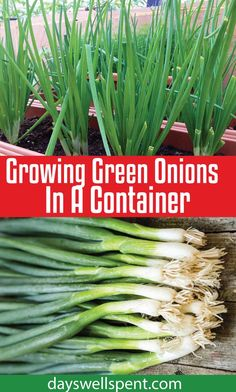 Gardening DIY Growing green onions in a container is easy, doesn't require much room and they can be grown year-round. In today's post and video, we'll cover what you need to know to grow green onions in a container successfully! Planting Green Onions, Green Onions Growing, Growing Greens, Growing Veggies, Growing Irises, Growing Plants, Regrow Green Onions, Growing Herbs In Pots, Growing Peppers