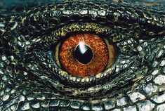 Panay monitor lizard videos, photos and facts - Varanus mabitang . Monitor Lizard, Lizard Eye, Pencil Drawings Of Nature, Unbelievable Pictures, Dragons, Terrarium Reptile, Creature Picture, Forest Habitat, Les Reptiles