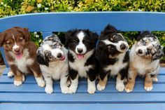 Five Adorable Australian Shepherd Dog Puppies sitting on a Bench