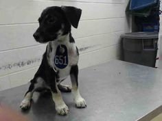 06/21/16--HOUSTON- FACILITY IS AT TRIPLE CAPACITY -EXTREMELY HIGH KILL FACILITY - This DOG - ID#A462148  I am a female, black and brown Labrador Retriever.  The shelter staff think I am about 5 months old.  I have been at the shelter since Jun 21, 2016.  This information was refreshed 59 minutes ago and may not represent all of the animals at the Harris County Public Health and Environmental Services.