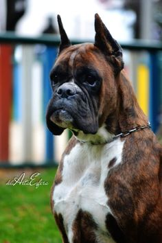 Discover The Active Boxer Pups Size Boxer And Baby, Boxer Love, Dog Love, Cute Boxer Puppies, Doggies, Boxer Dogs Facts, Training Your Puppy, Family Dogs, Best Dogs
