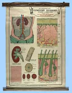 Wall chart depicting physiology of excretory system, circa 1940. Chart used in nursing education at Ararat and Lakeside Psychiatric Institutions, Victoria, Australia.  Collection: Museum Victoria