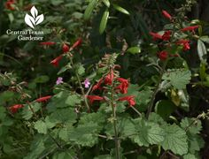 Salvia roemeriana; perennial native plant; attracts pollinators and hummingbirds; likes shade and drought; spring bloomer  Central Texas Gardener