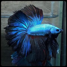 Pigeon Betta Berry Blue