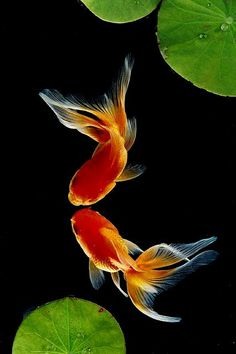 """Japanese goldfish, with your gossamer tail, you are the loveliest creature I have ever seen.""  - Paul Gallico"