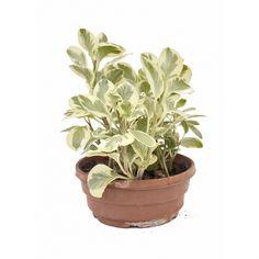 Peperomia USA - peperomia obtusifolia Spagnhol Plantas Ornamentais