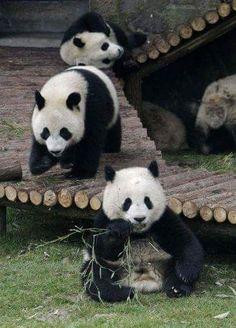 Bears: Panda Bears.
