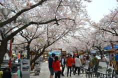 Cherry blossoms and spring time in Jinehae, South korea  #southkorea #spring #photography #travel #asia #cherryblossoms
