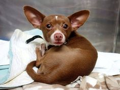 Emergency rescue needed for terrified Chihuahua scheduled to die