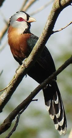 Scale-feathered Malkoha, endemic to the Philippines. Habitat is fairly common in forest, edge & second growth.   Birding2asia