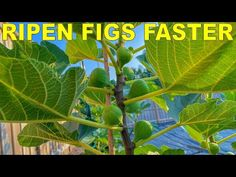 (1489) Grow Fig Trees That RIPEN FIGS FASTER With Three Simple Tricks - YouTube
