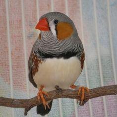 Rico the Zebra Finch