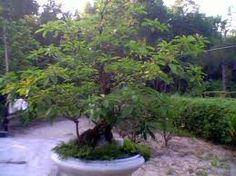 Cây Lộc Vừng - Cây cảnh đẹp - http://caycanhnoithat.vn/cay-loc-vung-cay-canh-dep/