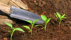 Weitere natürliche Dünger für den Biogarten - Teil 2 - Mit Bio-Dünger schonen Sie die Umwelt und die Biodiversität in ihrem Garten.