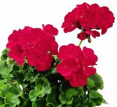 Geraniums ... one of his many hobbies.