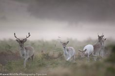 Fallow deer in early morning mist Wildlife Photography Tips, Deer Photography, Fallow Deer, Bokeh, Early Morning, Mists, Animals, Animales, Animaux