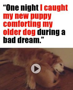 """OMG I CAN'T BELIEVE HOW CUTE THIS IS!!! """"One night I caught my new puppy comforting my older dog during a bad dream."""" http://theilovedogssite.com/one-night-i-caught-my-new-puppy-comforting-my-older-dog-during-a-bad-dream/"""