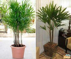 Está procurando por uma planta para usar no paisagismo interno da sua casa? A gente indica a Palmeira-ráfia, uma espécie que se desenvolve muito bem em interiores.