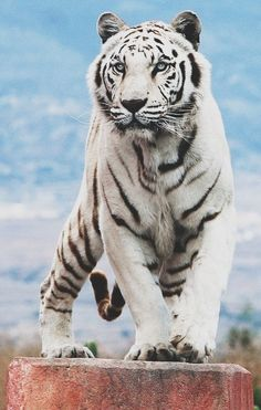 My Aunt works with wild cats, naturally I had to pin this! Wild cats are such beautiful animals. Animals And Pets, Baby Animals, Funny Animals, Cute Animals, Wild Animals, Smiling Animals, Fierce Animals, Beautiful Cats, Animals Beautiful