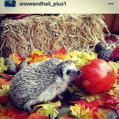 #repost from @snowandhail_plus1  Do you like seeing and following fellow hedgehog lovers? Check out @snowandhail_plus1 Please feel free to follow her.  #hedgehogmom #hedgiesofinstagram #hedgehogs #hedgie #hedgehogobsessed #hedgehoglove
