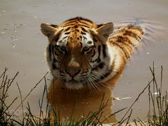 Tiger chillout by JackieT A beautiful Amur Tiger cooling off in the river amur,amur tiger,animal,animals,beautiful,big cat,big cats,cat,cats,cub,feline,having a...